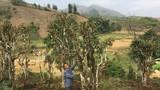 """""""Kho báu"""" chè Shan tuyết cổ thụ 70 tuổi nơi vùng cao bản Suối Lìn"""