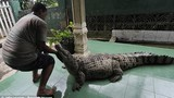 Video: Rợn người cảnh tắm rửa, cho cá sấu ăn và vuốt ve như thú cưng