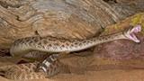 Phát hiện sốc về khả năng nuốt chửng rắn độc của người cổ đại