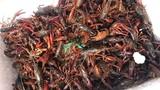 Tôm hùm đất tràn ngập thị trường Việt: Mối nguy từ Trung Quốc