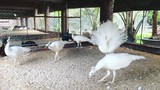 Chim đột biến gen 100 triệu: Nữ công nhân vay tiền mua về ngắm chơi