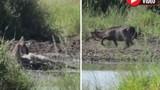 """Video: Bị cá sấu đớp, linh dương tung """"liên hoàn cước"""" thẳng mặt đối thủ"""