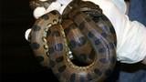 Trăn anaconda 3 mét trinh sản, tự đẻ hai con không cần thụ tinh