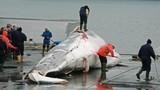 Video: Bất chấp chỉ trích, Nhật Bản sắp trở lại đánh bắt cá voi thương mại