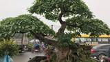 Vườn cây cảnh tiền tỷ, không muốn bán cho ai của đại gia Hưng Yên