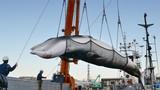 Video: Giới hạn nào cho ngành săn bắt cá voi ở Nhật Bản?