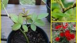 Mẹo trồng hoa bằng cành nhanh, gọn mà cây vẫn khỏe, bông nở 4 mùa