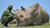 Video: Hai tê giác trắng quý hiếm cuối cùng trên Trái Đất