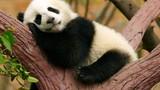 Video: Một ngày 'ngáo ngơ' của những con gấu trúc Trung Quốc