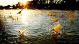 Loài côn trùng chỉ sống vài tiếng, đặc sản trứ danh trên sông Hồng