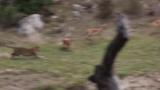 Video: Báo hoa mai tóm gọn linh dương
