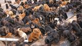 Hàng loạt chú chó ngao Tây Tạng bị bỏ rơi tại một trại cứu hộ