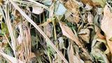 5 chiếc lá khô queo được bán với giá 200.000 đồng