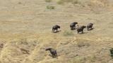 Video: Đơn độc chặn đầu sư tử, trâu rừng nhận cái kết đắng
