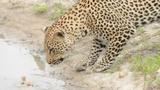 Video: Báo đốm chưng hửng vì để chim non tuột khỏi móng vuốt