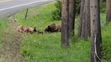 Video: Gấu xám bắc Mỹ hạ sát nai sừng tấm