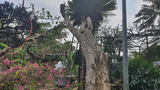 Ngắm cây vạn tuế có dáng cong mềm mại