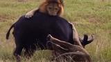 """Video: Trâu mẹ """"phản đòn"""", quật ngã sư tử đực để bảo vệ con"""