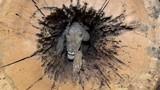 Chú chó săn mắc kẹt trong thân cây suốt 60 năm