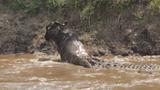Video: Cá sấu quyết kéo đuôi linh dương xuống sông