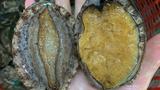 Thực hư bào ngư Hàn Quốc giá rẻ như rau bán đầy chợ mạng