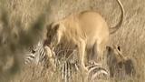 Video: Lạc đàn, ngựa vằn non mất mạng trong gang tấc