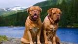 9 loài chó có tuổi thọ thấp nhất thế giới