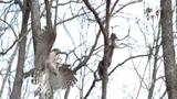 Video: Ngoạn mục cảnh tượng diều hâu săn sóc