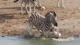 Video: Ngựa vằn đực cố tình dìm chết con của đồng loại