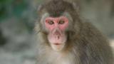 """Con khỉ cái gây bất ngờ khi trở thành """"bà trùm"""" trên hòn đảo Nhật Bản"""