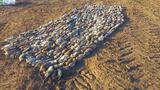 """Video: Người nông dân mang theo """"biệt đội chó"""" ra cánh đồng và cái kết"""