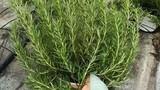Loại lá bên Tây giá vài triệu/kg, ở Việt Nam chỉ vài chục nghìn đồng