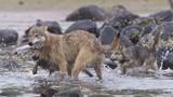 Loài chó sói biết bơi và chuyên ăn hải sản dưới biển