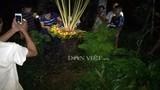 """Chong đèn cả đêm để ngắm cây vạn tuế """"đẻ"""" 400 """"trứng vàng"""""""