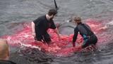 Video: Cảnh thảm sát 180 cá voi nhuộm đỏ vùng biển Đan Mạch