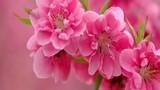 Hiểu thế nào cho đúng về vận đào hoa?