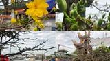 """Ngắm cây mai gần nửa tỉ """"chờ"""" khách trên đại lộ đẹp nhất Sài Gòn"""