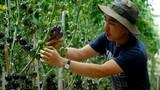 Bí kíp trồng cà chua đen sai trĩu của nông dân phố núi