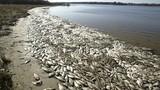 Chiều nay công bố nguyên nhân cá chết hàng loạt ở miền Trung