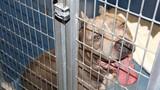 Mỹ: Chó pit bull nhà nuôi vồ đến chết bé gái 6 tháng