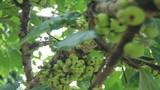 Mãn nhãn cây sung quả mọc chi chít cạnh hồ Thủ Lệ - Hà Nội