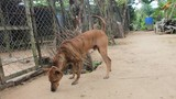 Khám phá giống chó lạ - niềm tự hào của người dân Phú Quốc