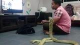Khiếp hãi người đàn ông kết hôn với...rắn hổ mang