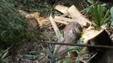 Kỷ luật nhiều cán bộ vụ phá rừng pơ mu