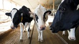 Đàn bò ở Anh được trải nghiệm 5G trước cả thế giới