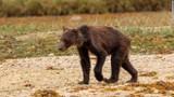 Ám ảnh gấu xám Canada gầy trơ xương dù sắp ngủ đông