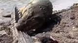 Lang thang vào lãnh thổ của cá sấu đực, con cái bị quật 'tơi tả'