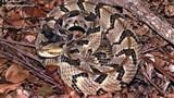 Chuột cống điên cuồng cắn trả loài rắn độc bậc nhất Bắc Mỹ