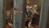 8 con hổ chết có thể do bị gây mê kéo dài