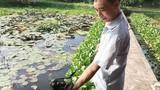 Có của ăn của để nhờ nuôi loài ốc nhồi đẻ khỏe ở ao bèo